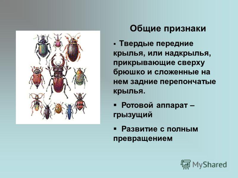 Общие признаки Твердые передние крылья, или надкрылья, прикрывающие сверху брюшко и сложенные на нем задние перепончатые крылья. Ротовой аппарат – грызущий Развитие с полным превращением