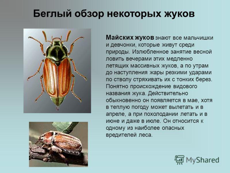 Беглый обзор некоторых жуков Майских жуков знают все мальчишки и девчонки, которые живут среди природы. Излюбленное занятие весной ловить вечерами этих медленно летящих массивных жуков, а по утрам до наступления жары резкими ударами по стволу стряхив