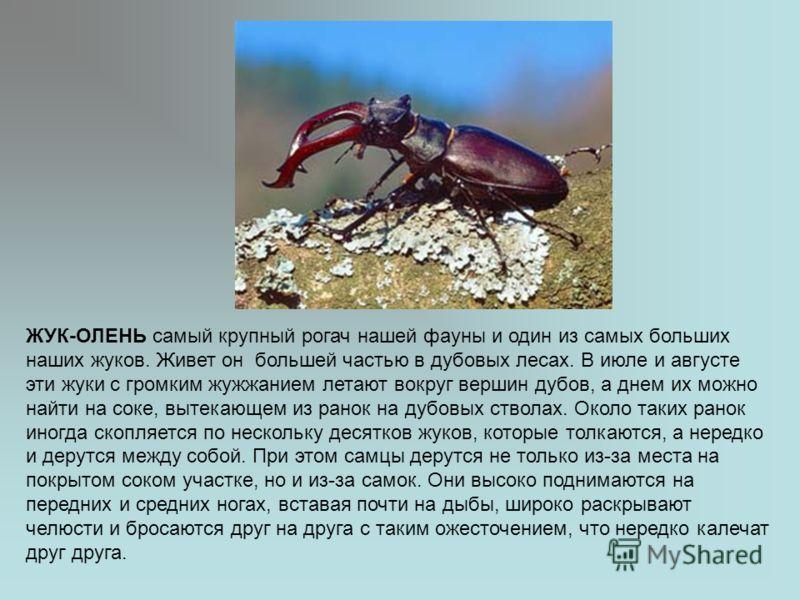 ЖУК-ОЛЕНЬ самый крупный рогач нашей фауны и один из самых больших наших жуков. Живет он большей частью в дубовых лесах. В июле и августе эти жуки с громким жужжанием летают вокруг вершин дубов, а днем их можно найти на соке, вытекающем из ранок на ду