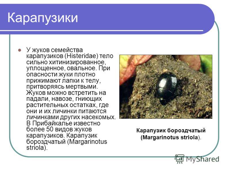 Карапузики У жуков семейства карапузиков (Histeridae) тело сильно хитинизированное, уплощенное, овальное. При опасности жуки плотно прижимают лапки к телу, притворяясь мертвыми. Жуков можно встретить на падали, навозе, гниющих растительных остатках,