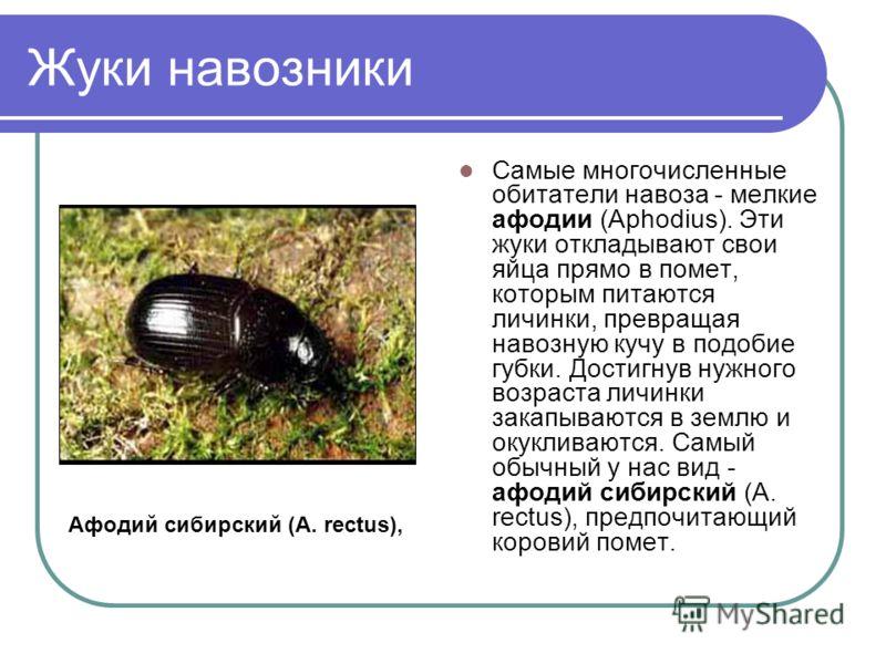 Жуки навозники Самые многочисленные обитатели навоза - мелкие афодии (Aphodius). Эти жуки откладывают свои яйца прямо в помет, которым питаются личинки, превращая навозную кучу в подобие губки. Достигнув нужного возраста личинки закапываются в землю