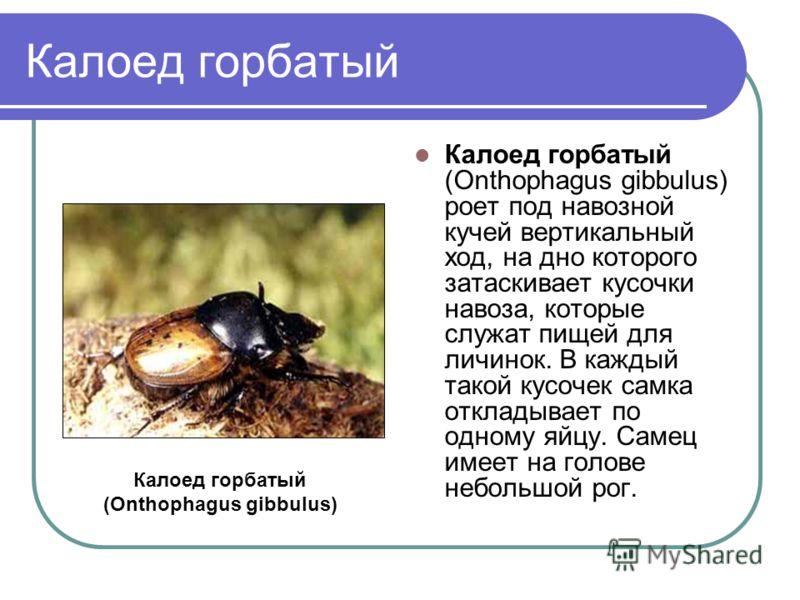 Калоед горбатый Калоед горбатый (Onthophagus gibbulus) роет под навозной кучей вертикальный ход, на дно которого затаскивает кусочки навоза, которые служат пищей для личинок. В каждый такой кусочек самка откладывает по одному яйцу. Самец имеет на гол