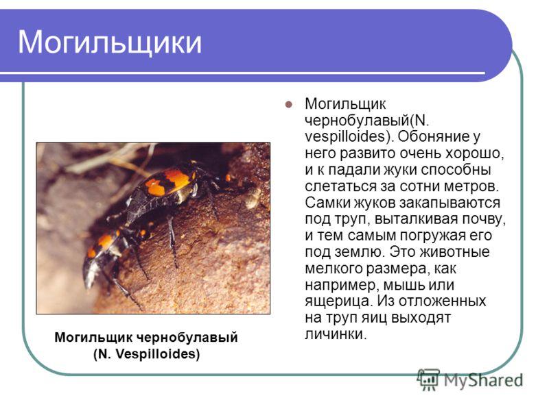 Могильщики Могильщик чернобулавый(N. vespilloides). Обоняние у него развито очень хорошо, и к падали жуки способны слетаться за сотни метров. Самки жуков закапываются под труп, выталкивая почву, и тем самым погружая его под землю. Это животные мелког