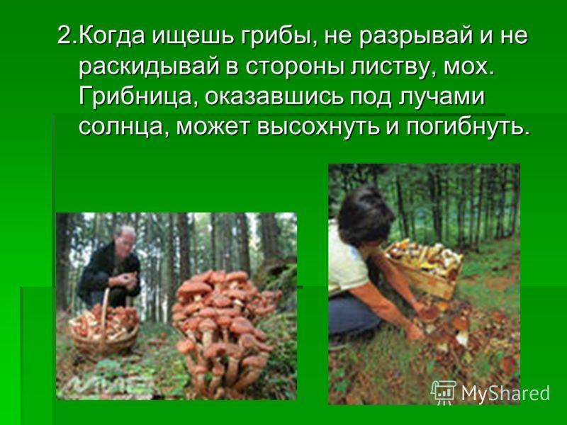 2.Когда ищешь грибы, не разрывай и не раскидывай в стороны листву, мох. Грибница, оказавшись под лучами солнца, может высохнуть и погибнуть.