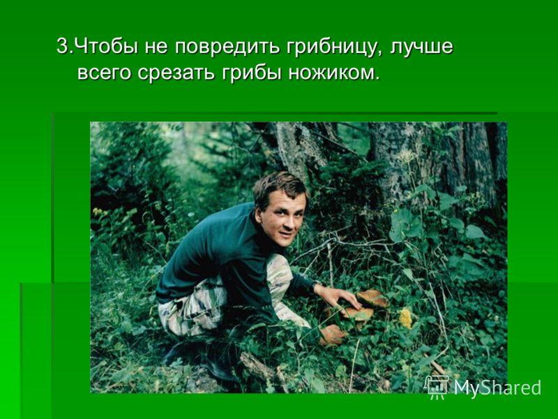 3.Чтобы не повредить грибницу, лучше всего срезать грибы ножиком.