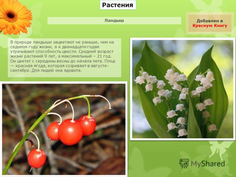 Растения В природе ландыши зацветают не раньше, чем на седьмом году жизни, а к двенадцати годам утрачивают способность цвести. Средний возраст жизни растений 9 лет, а максимальный – 21 год. Он цветет с середины весны до начала лета. Плод красная ягод