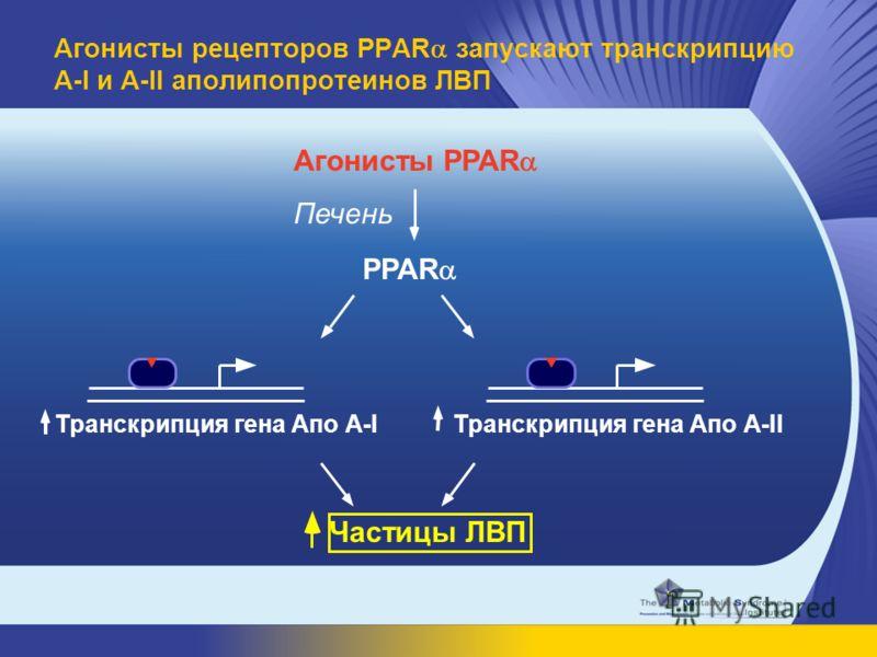 Агонисты PPAR Транскрипция гена Апо A-IТранскрипция гена Апо A-II Частицы ЛВП PPAR Печень Агонисты рецепторов PPAR запускают транскрипцию A-I и A-II аполипопротеинов ЛВП
