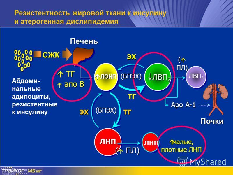ТГ ТГ апо B апо B ЛОНП ЛОНП ЛНП (БПЭХ) ТГЭХ Абдоми- нальные адипоциты, резистентные к инсулину Печень СЖК ЭХ ТГ ( ПЛ) ( ПЛ) малые, плотные ЛНП малые, плотные ЛНП ЛВП 2 ЛВП 2 ( ПЛ) Почки Apo A-1 ЛВП 3 Резистентность жировой ткани к инсулину и атероген