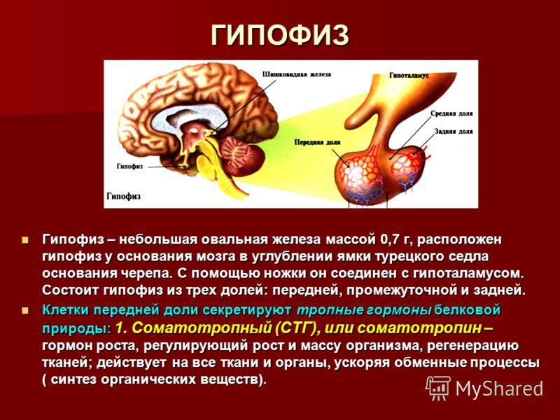 ГИПОФИЗ Гипофиз – небольшая овальная железа массой 0,7 г, расположен гипофиз у основания мозга в углублении ямки турецкого седла основания черепа. С помощью ножки он соединен с гипоталамусом. Состоит гипофиз из трех долей: передней, промежуточной и з