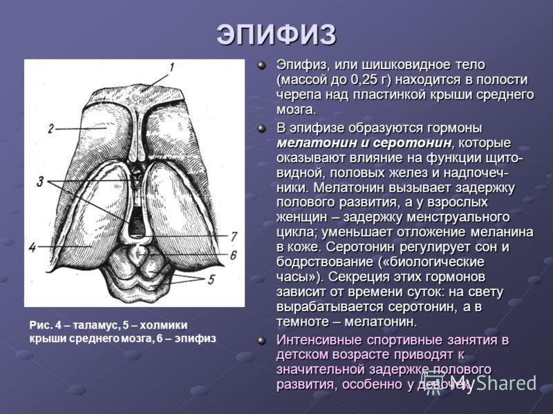 ЭПИФИЗ Эпифиз, или шишковидное тело (массой до 0,25 г) находится в полости черепа над пластинкой крыши среднего мозга. В эпифизе образуются гормоны мелатонин и серотонин, которые оказывают влияние на функции щито- видной, половых желез и надпочеч- ни