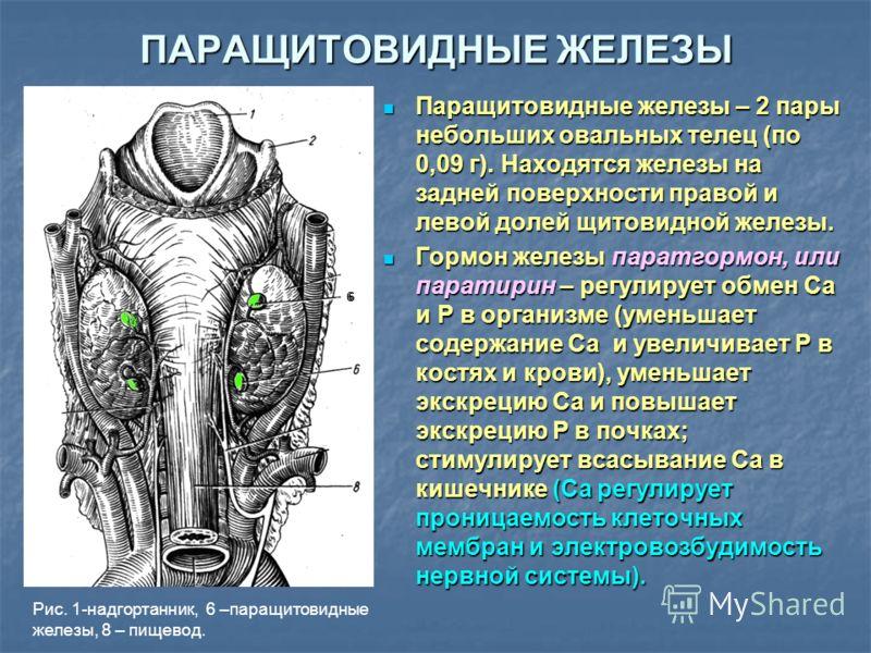 ПАРАЩИТОВИДНЫЕ ЖЕЛЕЗЫ Паращитовидные железы – 2 пары небольших овальных телец (по 0,09 г). Находятся железы на задней поверхности правой и левой долей щитовидной железы. Паращитовидные железы – 2 пары небольших овальных телец (по 0,09 г). Находятся ж