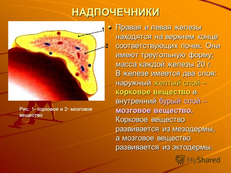 НАДПОЧЕЧНИКИ Правая и левая железы находятся на верхнем конце соответствующих почек. Они имеют треугольную форму; масса каждой железы 20 г. В железе имеется два слоя: наружный желтый слой – корковое вещество и внутренний бурый слой – мозговое веществ