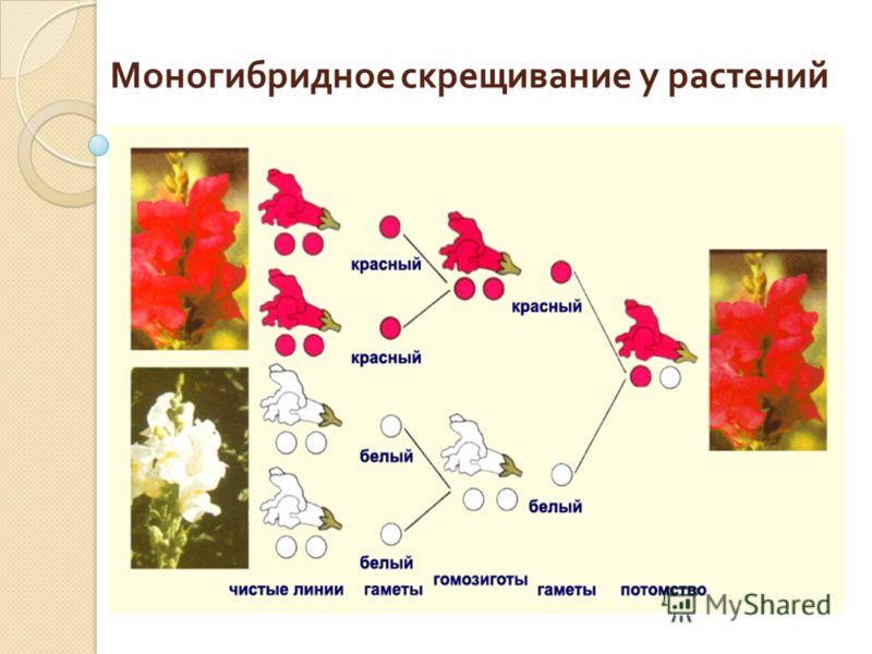 Моногибридное скрещивание у растений