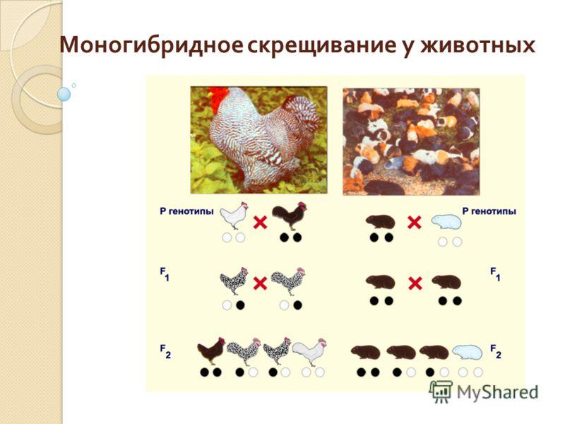 Моногибридное скрещивание у животных