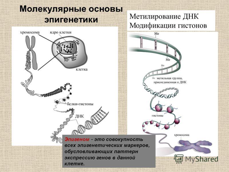 Метилирование ДНК Модификации гистонов Молекулярные основы эпигенетики Эпигеном - это совокупность всех эпигенетических маркеров, обусловливающих паттерн экспрессию генов в данной клетке.