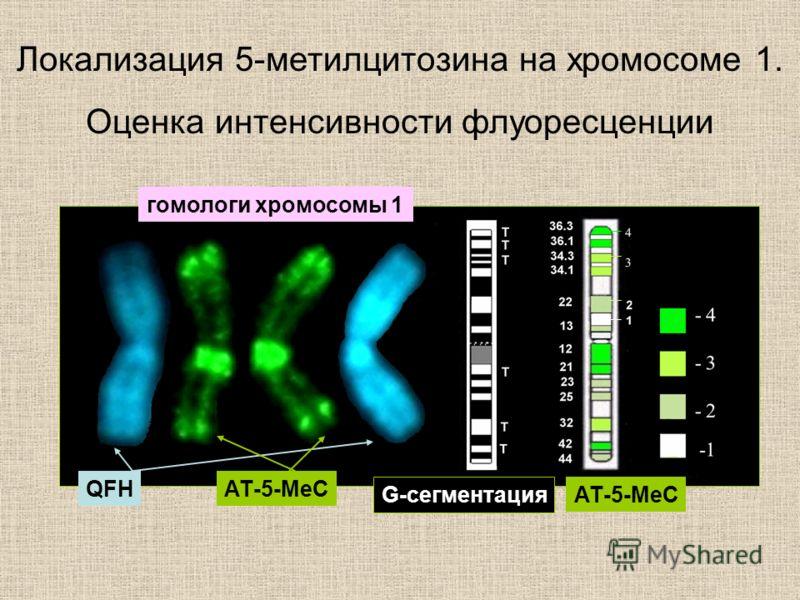 Локализация 5-метилцитозина на хромосоме 1. Оценка интенсивности флуоресценции гомологи хромосомы 1 АТ-5-МеСQFH G-сегментация АТ-5-МеС