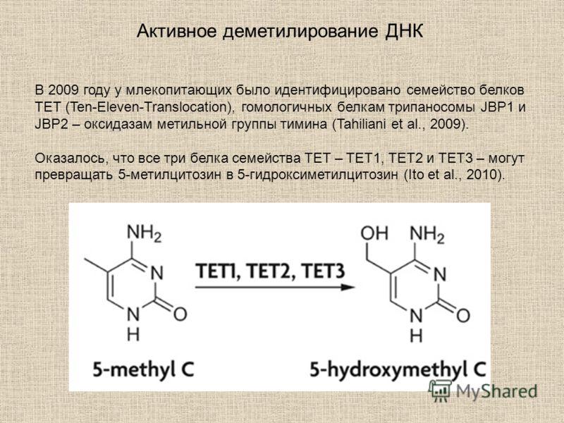 В 2009 году у млекопитающих было идентифицировано семейство белков TET (Ten-Eleven-Translocation), гомологичных белкам трипаносомы JBP1 и JBP2 – оксидазам метильной группы тимина (Tahiliani et al., 2009). Оказалось, что все три белка семейства TET –