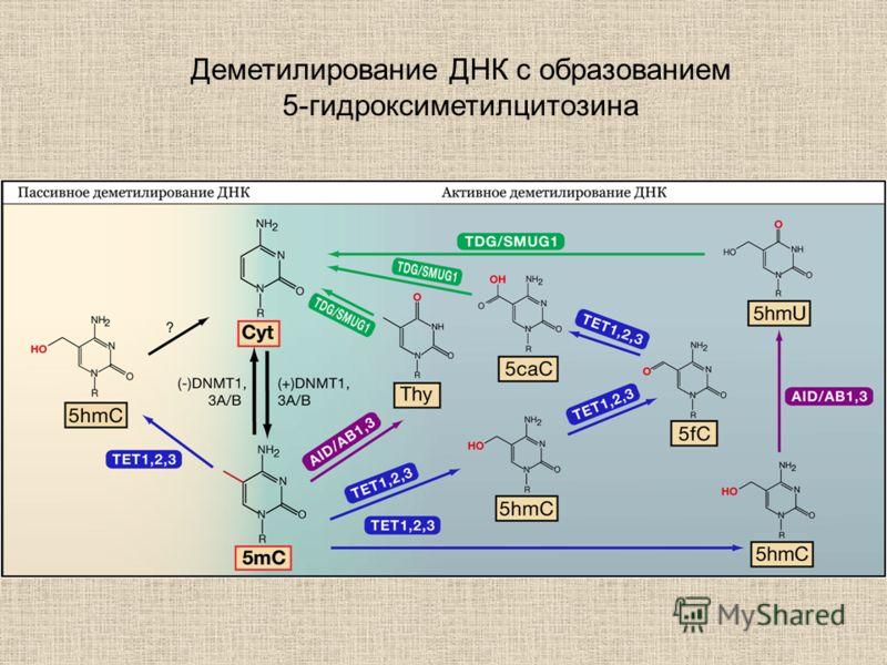 Деметилирование ДНК с образованием 5-гидроксиметилцитозина