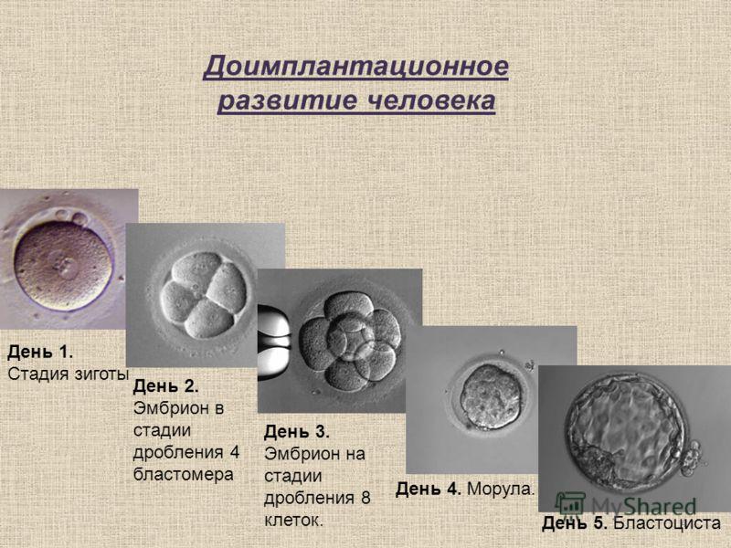 4 Доимплантационное развитие человека День 2. Эмбрион в стадии дробления 4 бластомера День 3. Эмбрион на стадии дробления 8 клеток. День 4. Морула. День 5. Бластоциста День 1. Стадия зиготы