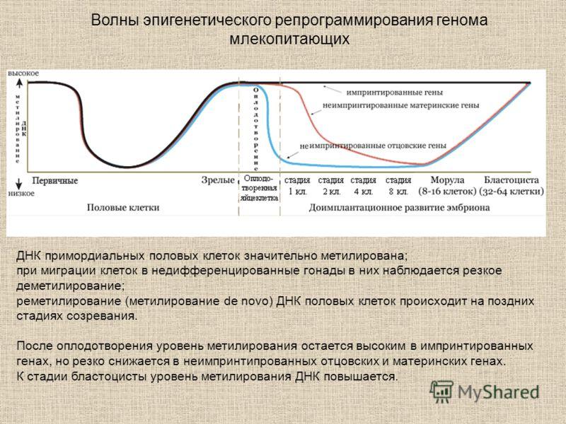 Волны эпигенетического репрограммирования генома млекопитающих ДНК примордиальных половых клеток значительно метилирована; при миграции клеток в недифференцированные гонады в них наблюдается резкое деметилирование; реметилирование (метилирование de n