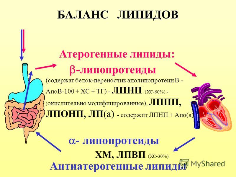 БАЛАНС ЛИПИДОВ -липопротеиды (содержат белок-переносчик аполипопротеин В - АпоВ-100 + ХС + ТГ) - ЛПНП (ХС-60%) - ( окислительно модифицированные), ЛППП, ЛПОНП, ЛП(а) - содержит ЛПНП + Апо(а) - липопротеиды ХМ, ЛПВП (ХС-30%) Атерогенные липиды: Антиат