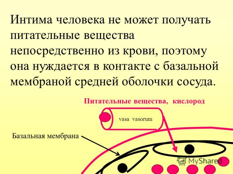 Интима человека не может получать питательные вещества непосредственно из крови, поэтому она нуждается в контакте с базальной мембраной средней оболочки сосуда. Питательные вещества, кислород Базальная мембрана vasa vasorum