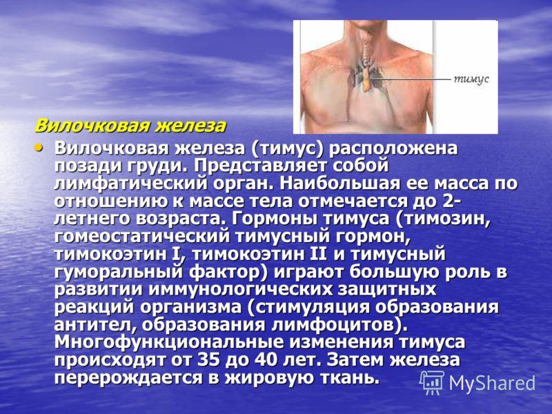 Вилочковая железа Вилочковая железа (тимус) расположена позади груди. Представляет собой лимфатический орган. Наибольшая ее масса по отношению к массе тела отмечается до 2- летнего возраста. Гормоны тимуса (тимозин, гомеостатический тимусный гормон,