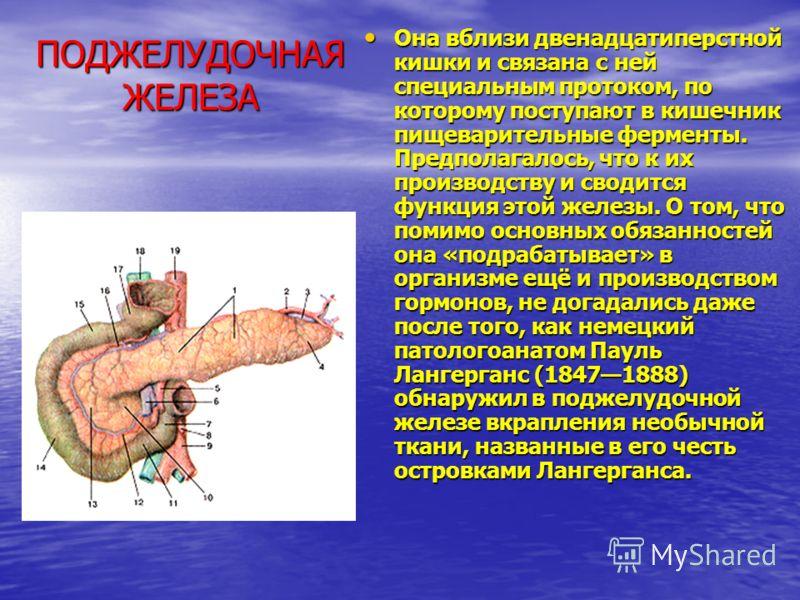 ПОДЖЕЛУДОЧНАЯ ЖЕЛЕЗА Она вблизи двенадцатиперстной кишки и связана с ней специальным протоком, по которому поступают в кишечник пищеварительные ферменты. Предполагалось, что к их производству и сводится функция этой железы. О том, что помимо основных