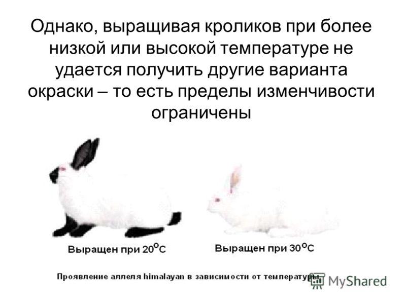 Однако, выращивая кроликов при более низкой или высокой температуре не удается получить другие варианта окраски – то есть пределы изменчивости ограничены