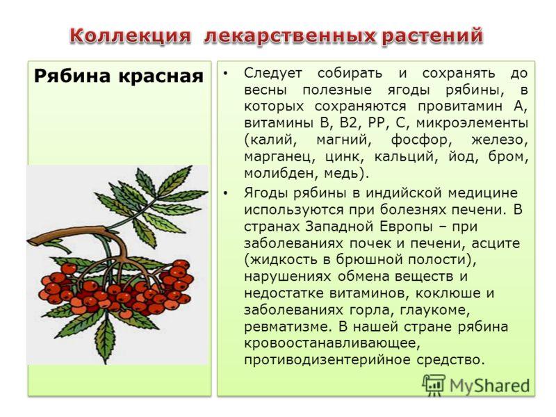 Следует собирать и сохранять до весны полезные ягоды рябины, в которых сохраняются провитамин А, витамины В, В2, РР, С, микроэлементы (калий, магний, фосфор, железо, мaрганец, цинк, кальций, йод, бром, молибден, медь). Ягоды рябины в индийской медици