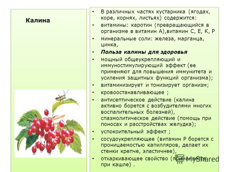 Калина красная В различных частях кустарника (ягодах, коре, корнях, листьях) содержится: витамины: каротин (превращающийся в организме в витамин А),витамин С, Е, К, Р минеральные соли: железа, марганца, цинка, Польза калины для здоровья мощный общеук