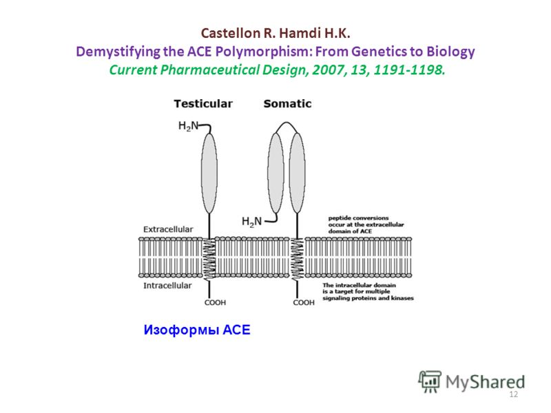 Castellon R. Hamdi H.K. Demystifying the ACE Polymorphism: From Genetics to Biology Current Pharmaceutical Design, 2007, 13, 1191-1198. Изоформы АСЕ 12