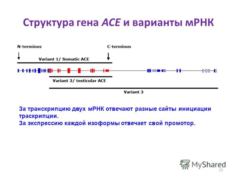 Структура гена ACE и варианты мРНК 23 За транскрипцию двух мРНК отвечают разные сайты инициации траскрипции. За экспрессию каждой изоформы отвечает свой промотор.