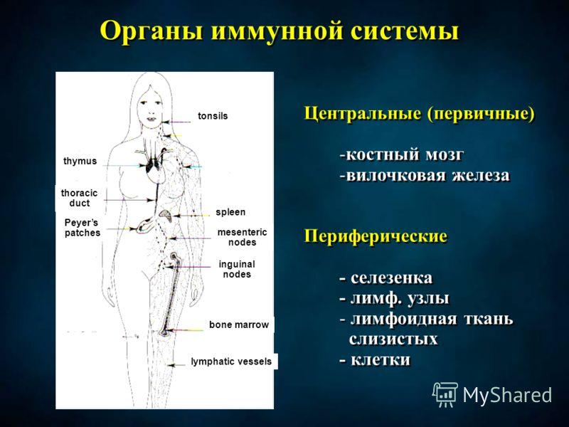 Органы иммунной системы Центральные (первичные) -костный мозг -вилочковая железа Периферические - селезенка - лимф. узлы - лимфоидная ткань слизистых - клетки Центральные (первичные) -костный мозг -вилочковая железа Периферические - селезенка - лимф.