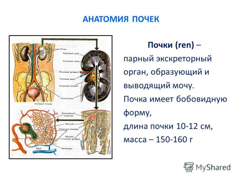 АНАТОМИЯ ПОЧЕК Почки (ren) – парный экскреторный орган, образующий и выводящий мочу. Почка имеет бобовидную форму, длина почки 10-12 см, масса – 150-160 г