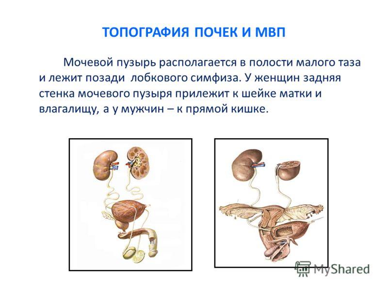 ТОПОГРАФИЯ ПОЧЕК И МВП Мочевой пузырь располагается в полости малого таза и лежит позади лобкового симфиза. У женщин задняя стенка мочевого пузыря прилежит к шейке матки и влагалищу, а у мужчин – к прямой кишке.