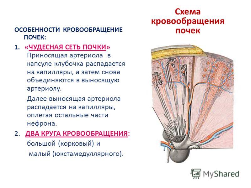 Схема кровообращения почек ОСОБЕННОСТИ КРОВООБРАЩЕНИЕ ПОЧЕК: 1. «ЧУДЕСНАЯ СЕТЬ ПОЧКИ» Приносящая артериола в капсуле клубочка распадается на капилляры, а затем снова объединяются в выносящую артериолу. Далее выносящая артериола распадается на капилля