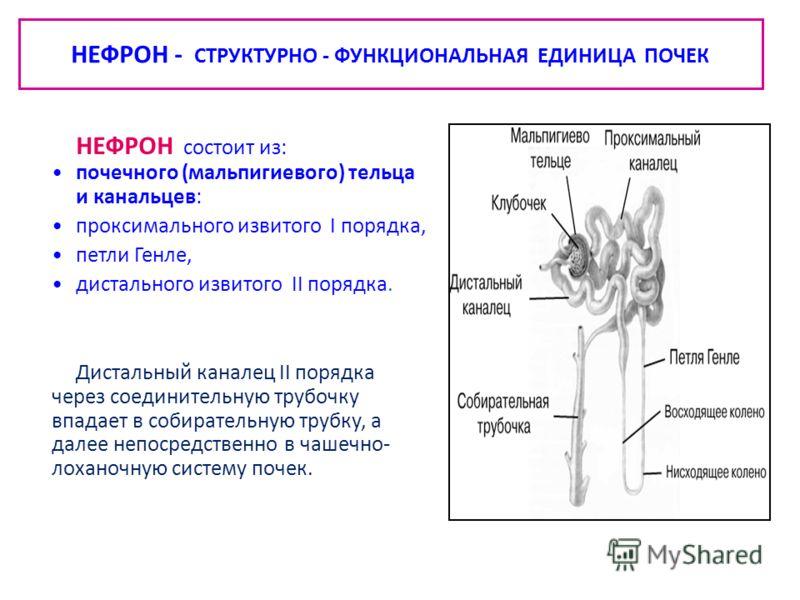 НЕФРОН - СТРУКТУРНО - ФУНКЦИОНАЛЬНАЯ ЕДИНИЦА ПОЧЕК НЕФРОН состоит из: почечного (мальпигиевого) тельца и канальцев: проксимального извитого I порядка, петли Генле, дистального извитого II порядка. Дистальный каналец II порядка через соединительную тр