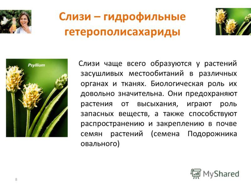 Слизи – гидрофильные гетерополисахариды Слизи чаще всего образуются у растений засушливых местообитаний в различных органах и тканях. Биологическая роль их довольно значительна. Они предохраняют растения от высыхания, играют роль запасных веществ, а