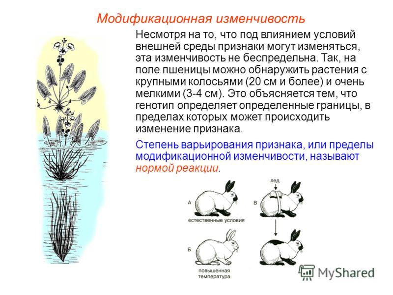 Модификационная изменчивость Несмотря на то, что под влиянием условий внешней среды признаки могут изменяться, эта изменчивость не беспредельна. Так, на поле пшеницы можно обнаружить растения с крупными колосьями (20 см и более) и очень мелкими (3-4