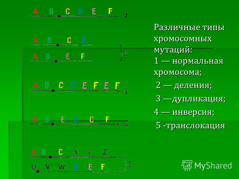 Различные типы хромосомных мутаций: 1 нормальная хромосома; 2 деления; 2 деления; 3 дупликация; 3 дупликация; 4 инверсия; 5 -транслокация 5 -транслокация