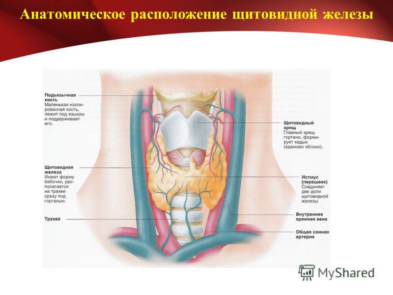 Анатомическое расположение щитовидной железы