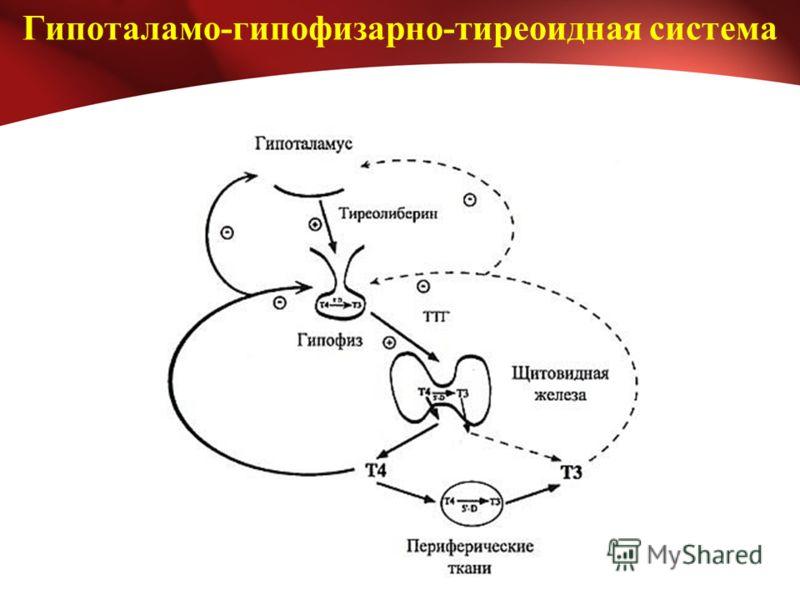 Гипоталамо-гипофизарно-тиреоидная система