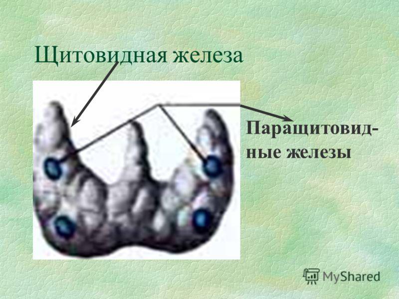 Щитовидная железа Паращитовид- ные железы