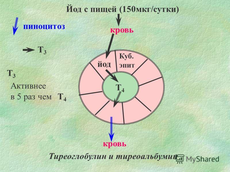 Йод с пищей (150мкг/сутки) Куб. эпит йод Т4Т4 кровь пиноцитоз Тиреоглобулин и тиреоальбумин Т3Т3 Т4Т4 Т3Т3 Активнее в 5 раз чем
