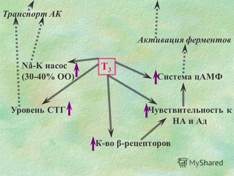 Т3Т3 Na-K насос (30-40% ОО) Транспорт АК К-во β-рецепторов Чувствительность к НА и Ад Уровень СТГ Система цАМФ Активация ферментов