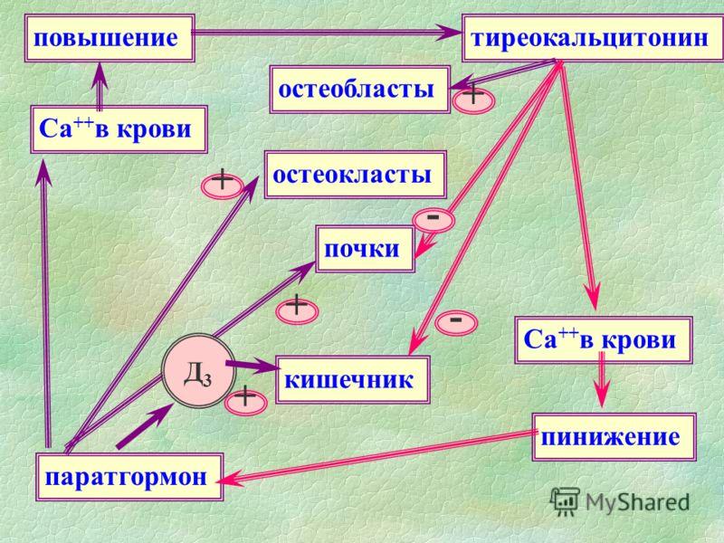 остеобласты остеокласты кишечник почки тиреокальцитонин паратгормон повышение пинижение Са ++ в крови - - + + + + Д3Д3