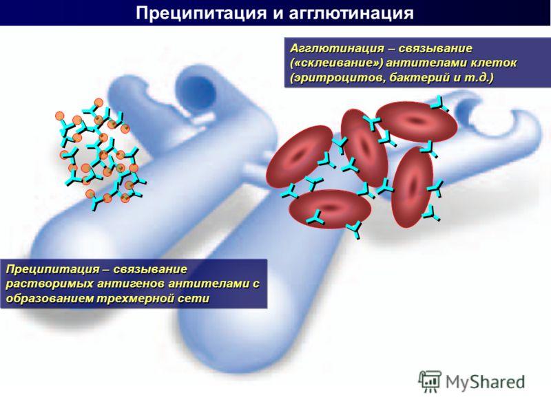 Преципитация и агглютинация Преципитация – связывание растворимых антигенов антителами с образованием трехмерной сети Агглютинация – связывание («склеивание») антителами клеток (эритроцитов, бактерий и т.д.)