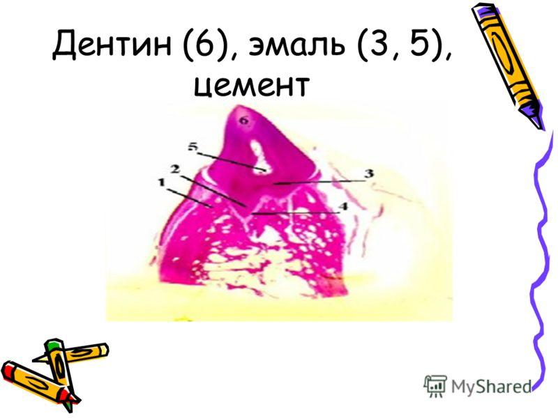 Дентин (6), эмаль (3, 5), цемент