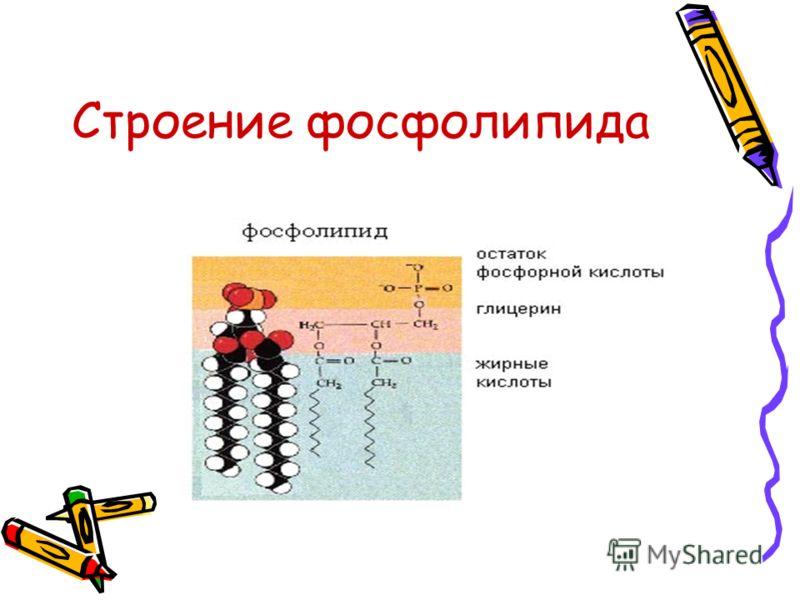 Строение фосфолипида